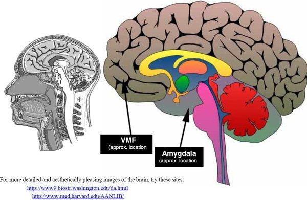 Anterior Cingulate Cortex And Insula Anterior Cingulate Cortex